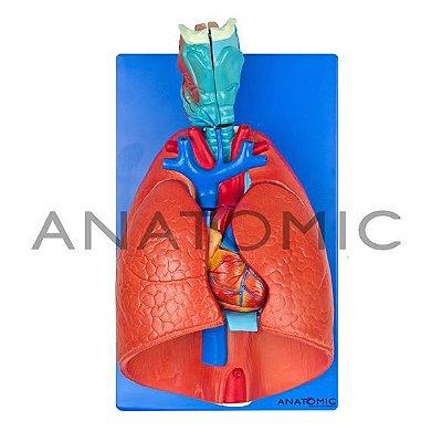Modelo Sistema Respiratório E Cardiovascular Em 7 Partes Pulmão C/ Traquéia TGD-0318-B