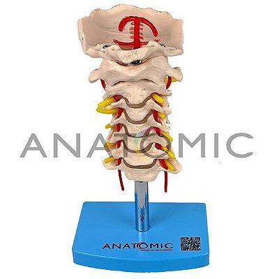 Modelo Coluna Vertebral Cervical TGD-0142