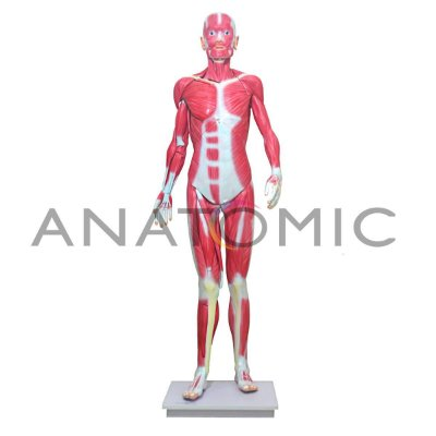 Manequim Muscular de 170cm, Assexuado, em 33 Partes - TGD-4000