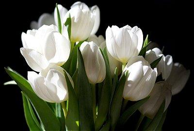 Quadro Decorativo Poster Tulipa Branca