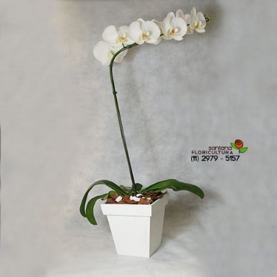 Orquídea Phalænopsis Branca