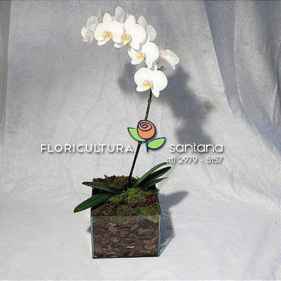 Orquídea Phalænopsis Vaso de Vidro