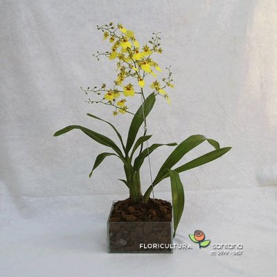 Orquídea Chuva de Ouro