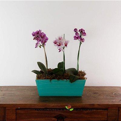 Pequena Orquídea Phalaenopsis