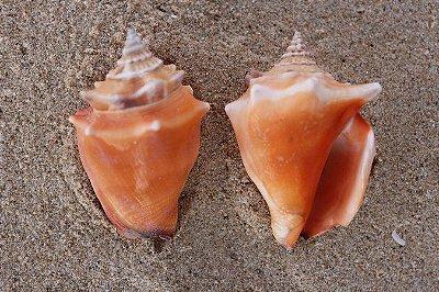 Concha marinha