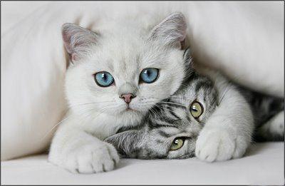 Dia: 10/05/2018 - 11h00 às 11h45 - SALA 05 - Doenças da Cavidade Bucal dos Felinos