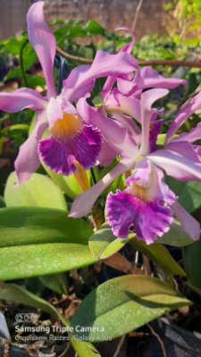 Cattleya Withei Coerulea