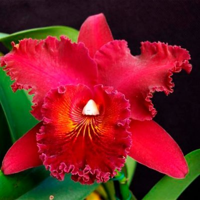 Cattleya Blc. Chia Lin New City