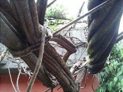 Jagube - Banisteriopsis Caapi - 100 gramas