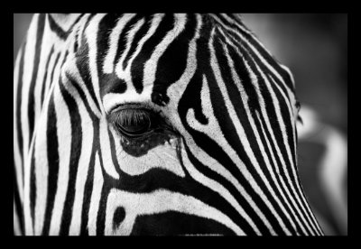 Quadro Decorativo Animais Zebra