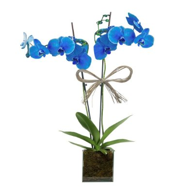 Orquídea Azul com 02 Hástes no Vaso de Vidro