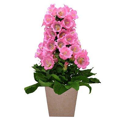 Campânulas Rosa Plantada no Cachepot para Presente