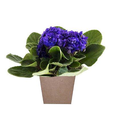Violeta Plantada No Cachepot para Presente