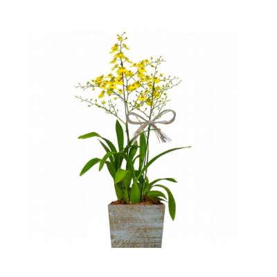 Orquídea Chuva de Ouro no Cachepot de Madeira