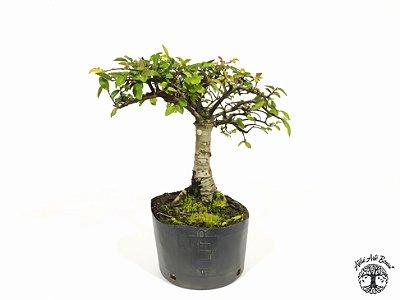Pré Bonsai Ulmus (Altura 18 cm)