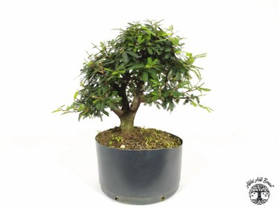 Pré Bonsai Calliandra Rosa  ( 25 cm altura)