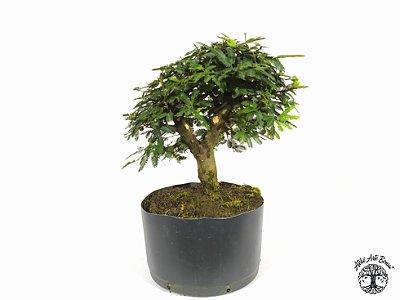 Pré Bonsai Calliandra Rosa  ( 20 cm altura)