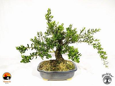 Pré Bonsai Buxus Harlandii Ótimo Potencial (Altura 21 cm)