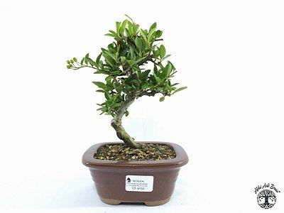 Bonsai Piracanta Amarela (Altura 18 cm)