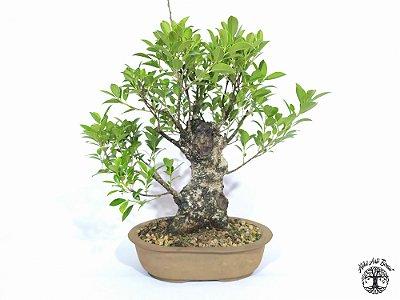 Bonsai Fícus Microcarpa (27 cm altura)