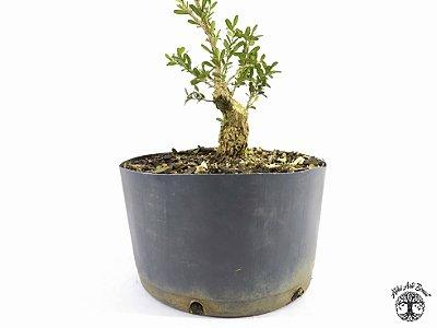 Pré Bonsai Buxus Harlandii (Altura 12 cm)