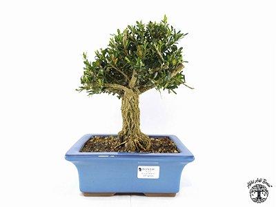 Bonsai Buxus Harlandii (Altura 23 cm) 7 anos