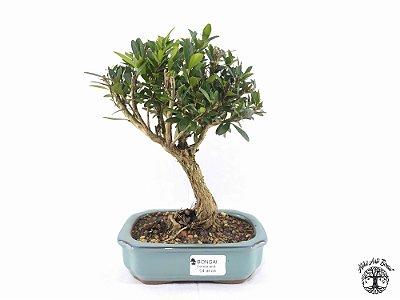 Bonsai Cereja Anã (20 cm Altura) 4 Anos