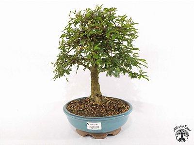 Bonsai Calliandra Rosa  (25 cm altura) 8 anos