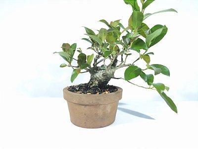 Bonsai Fícus Organensis  (15 cm Altura) 5 anos