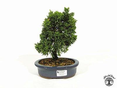 Bonsai Shimpaku 4 anos (18 cm altura)