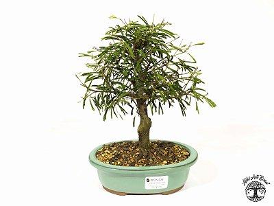 Bonsai Calliandra Rosa  ( 21 cm altura)