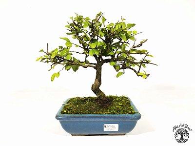 Bonsai Ulmus (Altura 23 cm) 6 anos