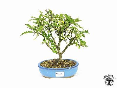 Bonsai Pepper Tree (22 cm altura) 5 Anos