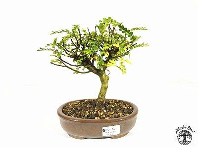 Bonsai Pepper Tree (18 cm altura) 5 Anos
