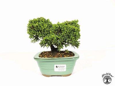 Bonsai Shimpaku 3 anos ( 12 cm altura)