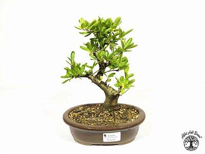 Bonsai Piracanta Vermelha (Altura 20 cm)