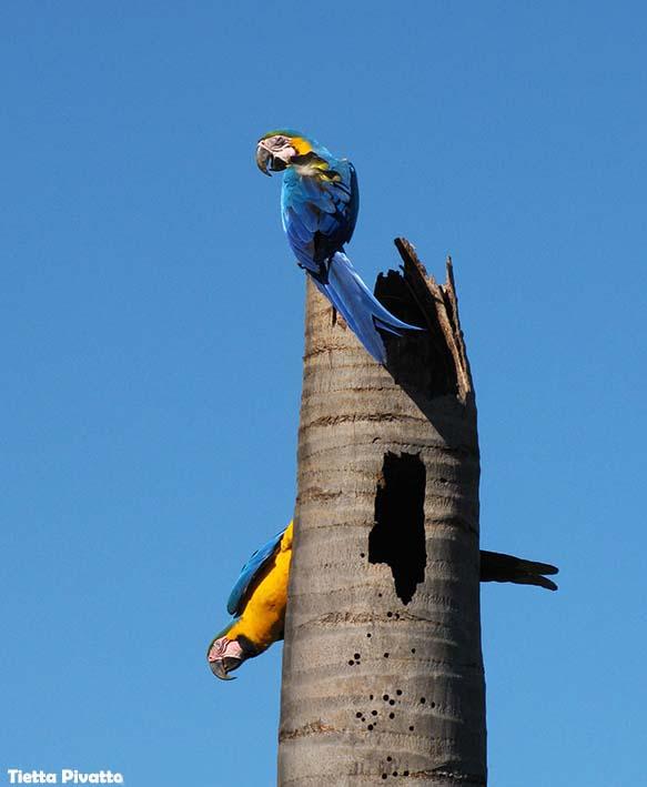 Guia de campo aves de Campo Grande, disponível na Maritaca Store.