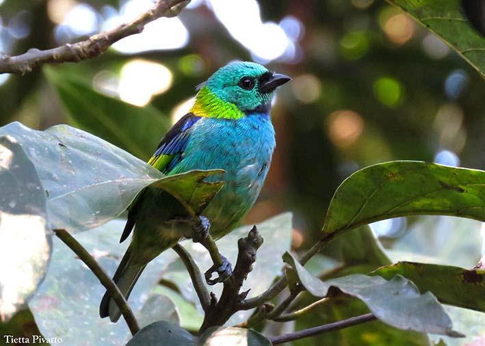 A saíra-sete-cores é uma das maravilhas encontradas no livro Aves da Mata Atlantica do Sudeste, disponível na Maritaca Store.
