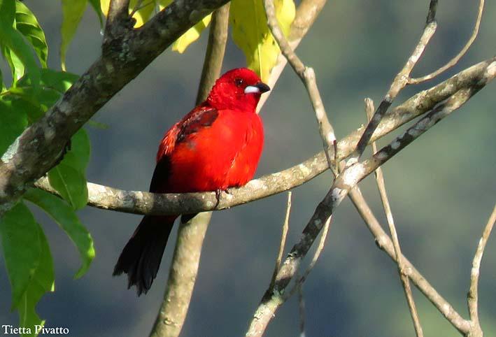 O tie-sangue é uma das maravilhas encontradas no livro Aves da Mata Atlantica do Sudeste, disponível na Maritaca Store.