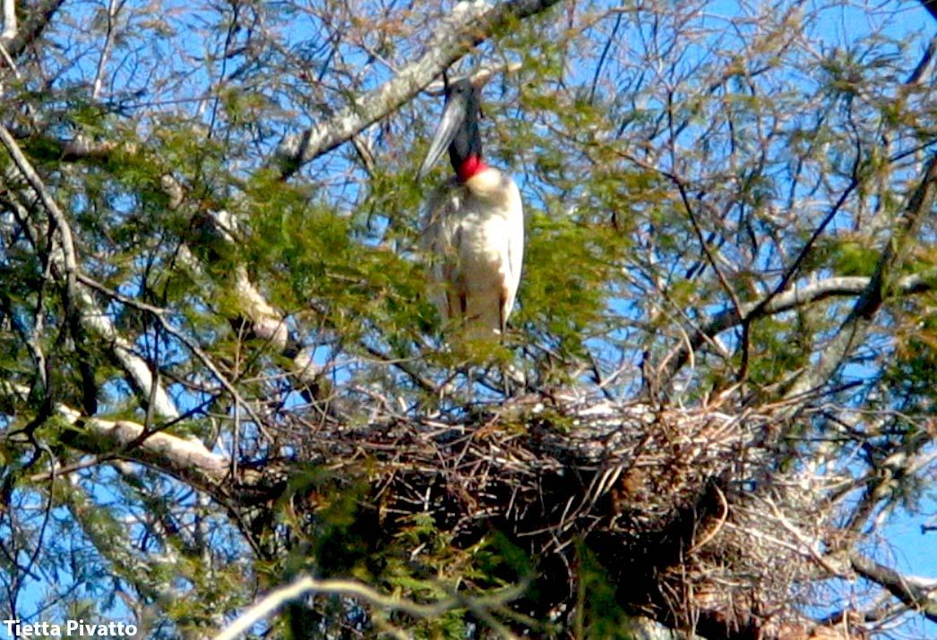 Ave-símbolo do Pantanal, o tuiuiú está no guia de campo aves do Cerrado & Pantanal, disponível na Maritaca Store.