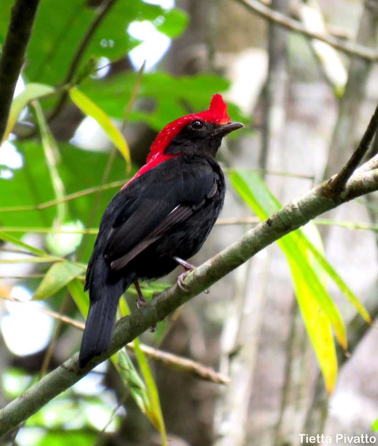 Típico das matas ciliares, o soldadinho está no guia de campo aves do Cerrado & Pantanal, disponível na Maritaca Store.