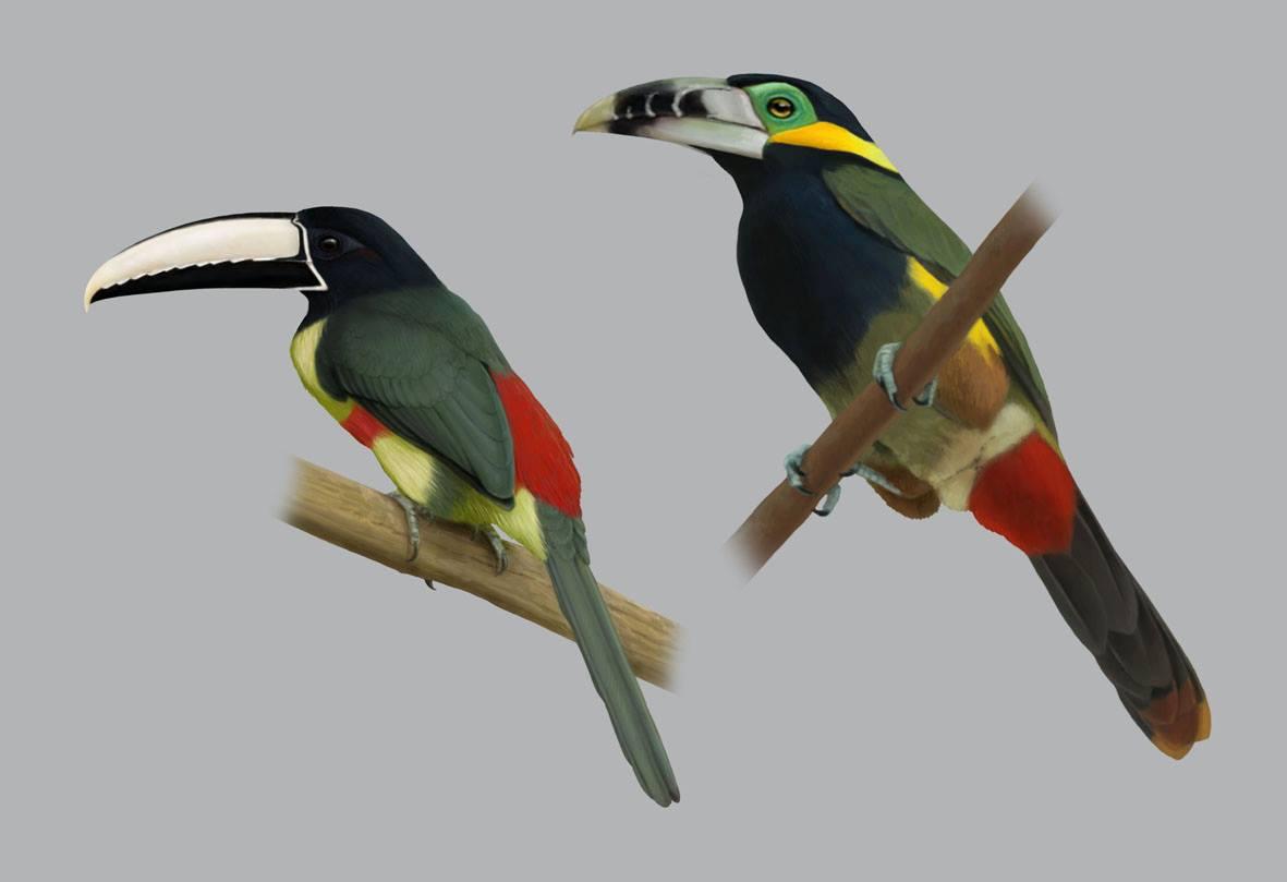 O livro Tucanos e Araçaris Neotropicais tem belas ilustrações, disponível na Maritaca Store.