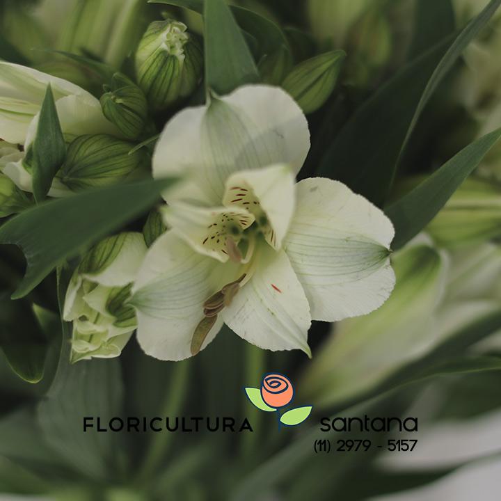 Flor Alstroemeria Akemi Branca