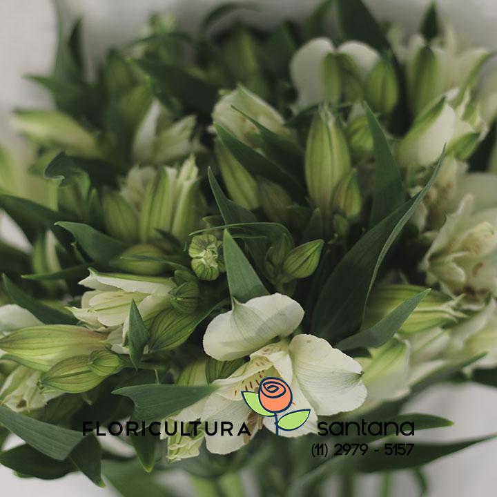 Alstroemeria Akemi Branca flor atacado