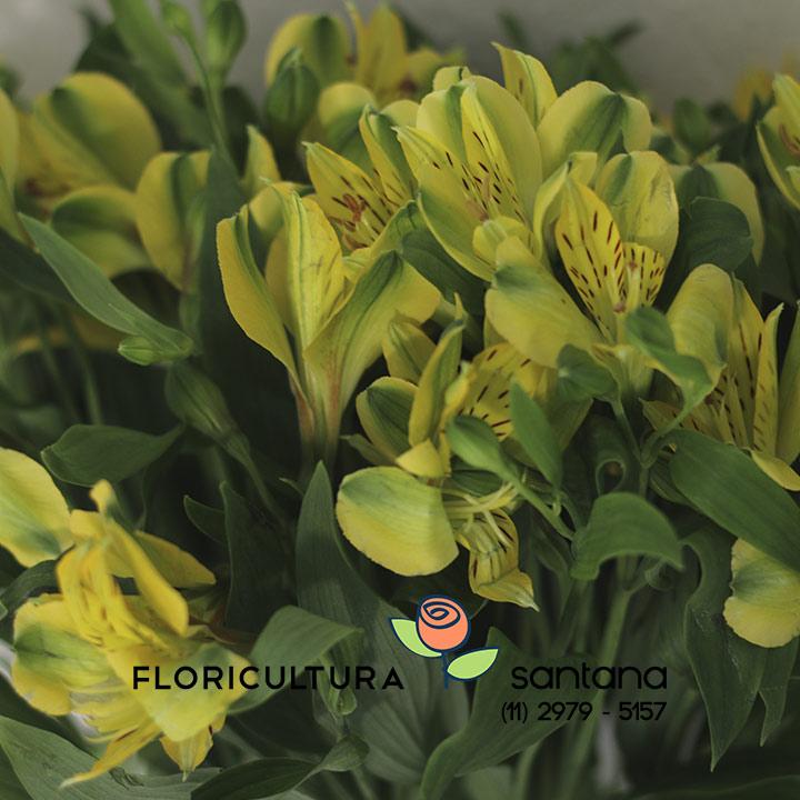 flor Alstroemeria Ipe Amarela venda no atacado