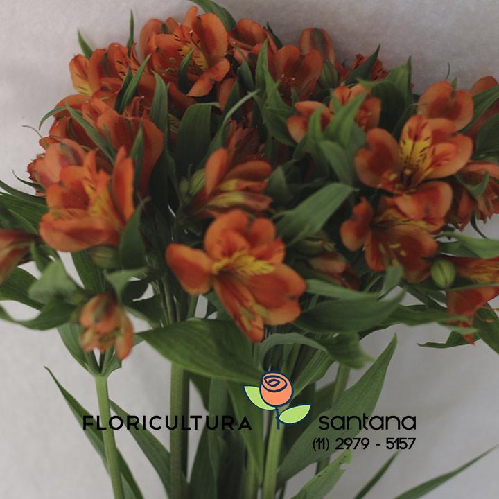 Alstroemeria flor venda atacado