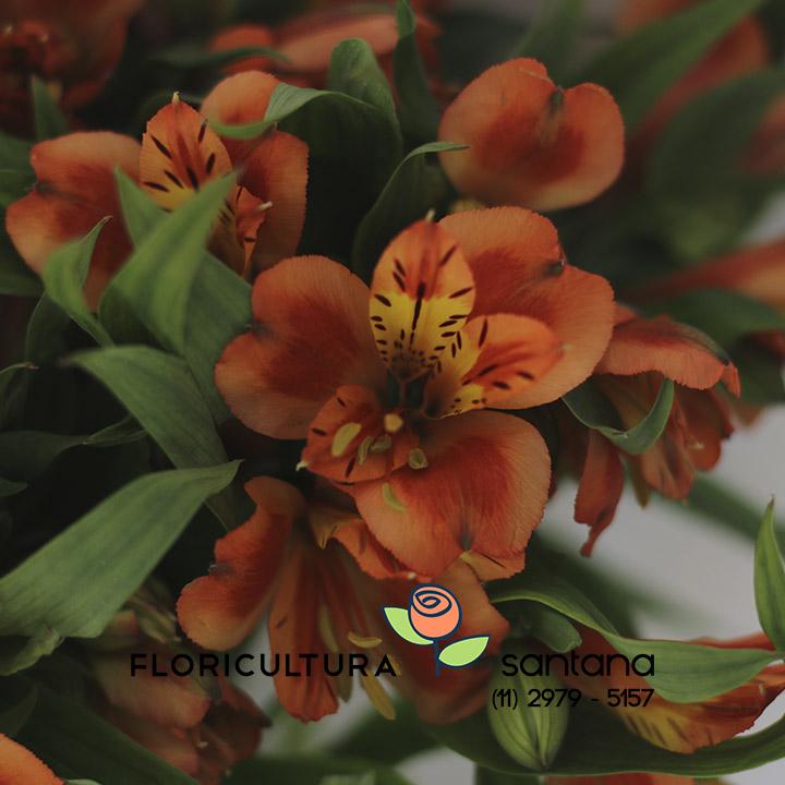 Flor Alstroemeria para presente