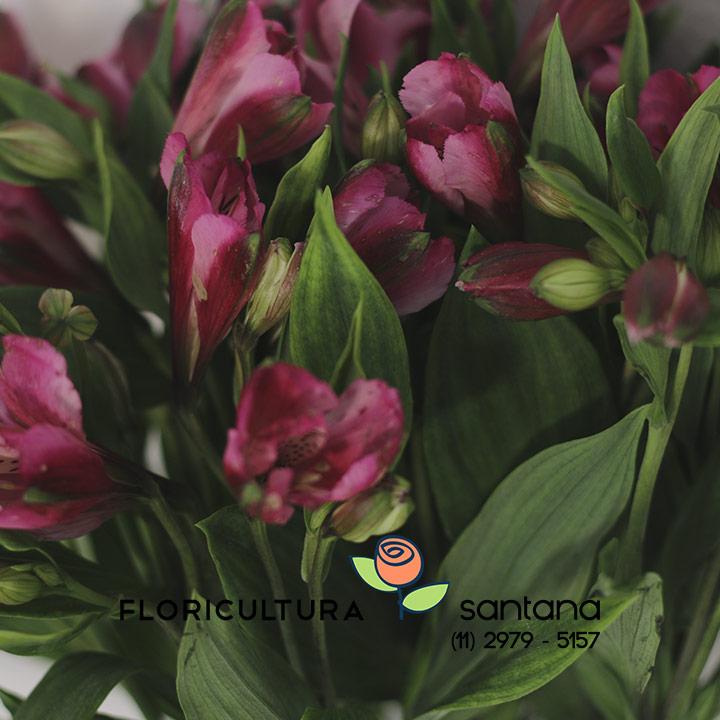 Alstroemeria flor atacado