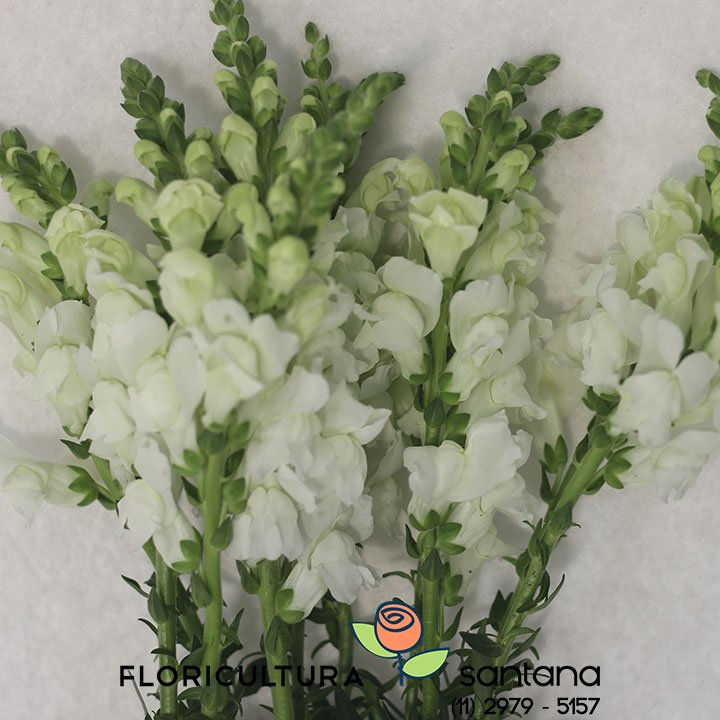 flor Boca de Leão Branca