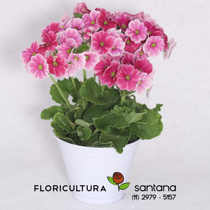 Flor Prímula plantada
